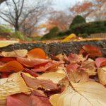 Gugurnya daun jingga Autumm di Fukushima
