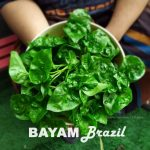 Fakta khasiat BAYAM BRAZIL cara tanam jaga pokok bayam brazil masak apa sedap. Tanam dalam pasu. Mudah dijaga! Cukup air segar
